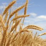 хотите выгодно продать зерно?